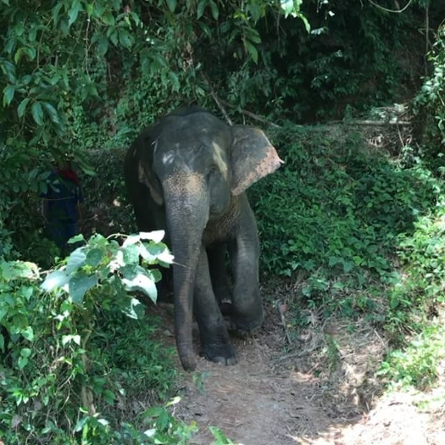 Amazing morning walking with these gentle giants #❤️elephants #rescued #thailand #anantara #elephantcamp #luckyme #goldentriangle #travelbug