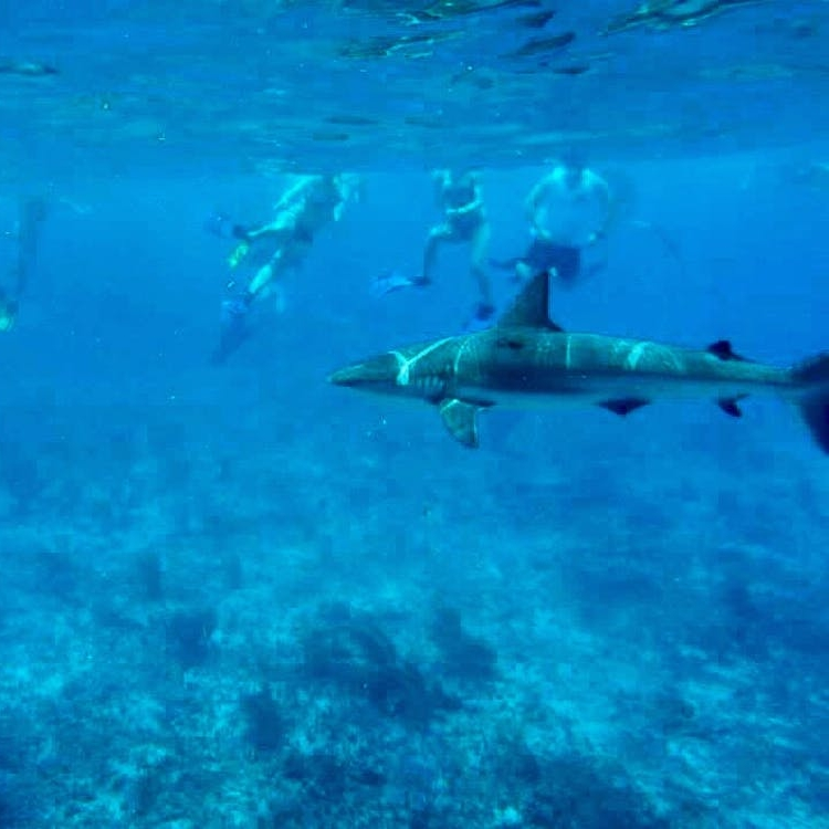 Shark Week Memories: What Swimming with Reef Sharks in the Bahamas Taught Me About Confidence - BRIT + CO: I inhaled into my snorkel and adjusted my mask to get a clearer look at the six-foot reef shark swimming straight toward me below the surface of the water.(28 July 2018)