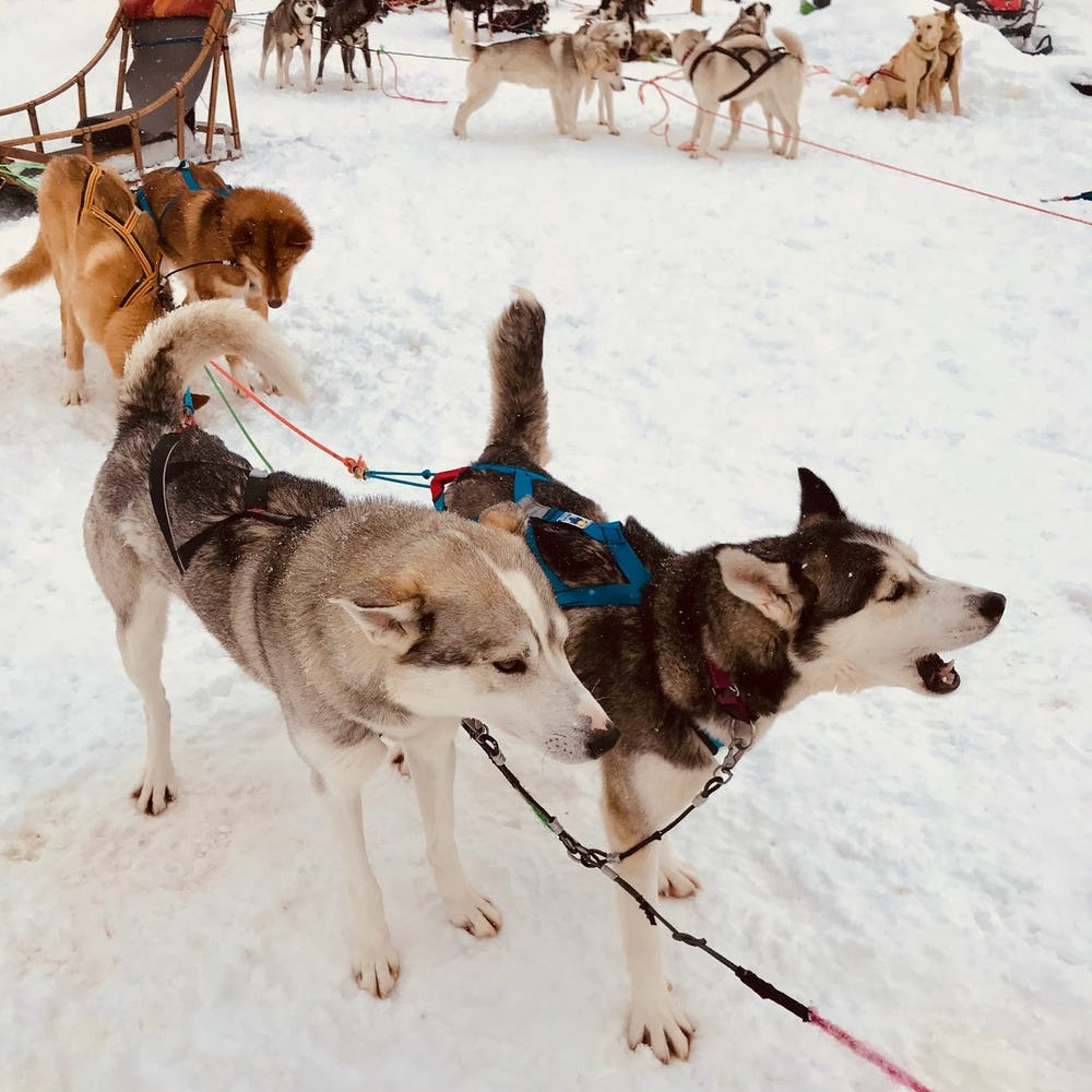 """The Cold Never Bothered Me Anyway: What Husky Sledding in Finland Taught Me - BRIT + CO: """"It's only negative ten today, so it's warm for the huskies. You'll have to help them out a bit."""" I pulled my (faux) fur scarf up above my nose while listening to my Lapland Safari guide, Olli, issue his instructions. I was above the Arctic Circle at Wild Motion Husky Farm in the wintry town of Ylläs in the Finnish Lapland, and the weather of the day was downright balmy for this Nordic part of the world.(22 April 2019)"""