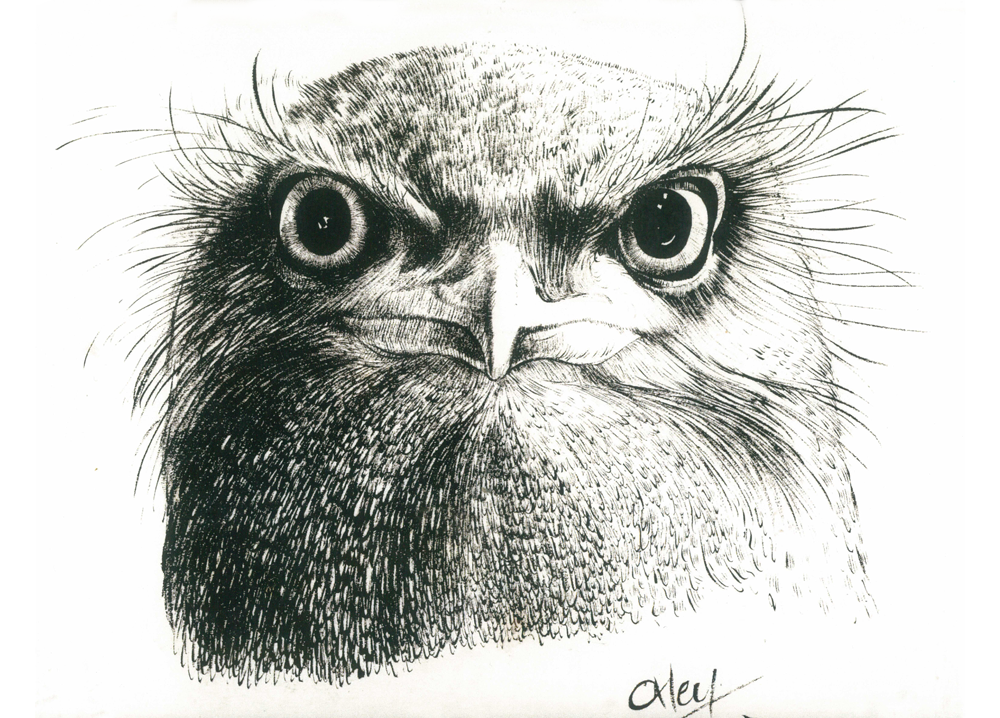 Tawny Frogmouth, Ink - Kevin Oxley