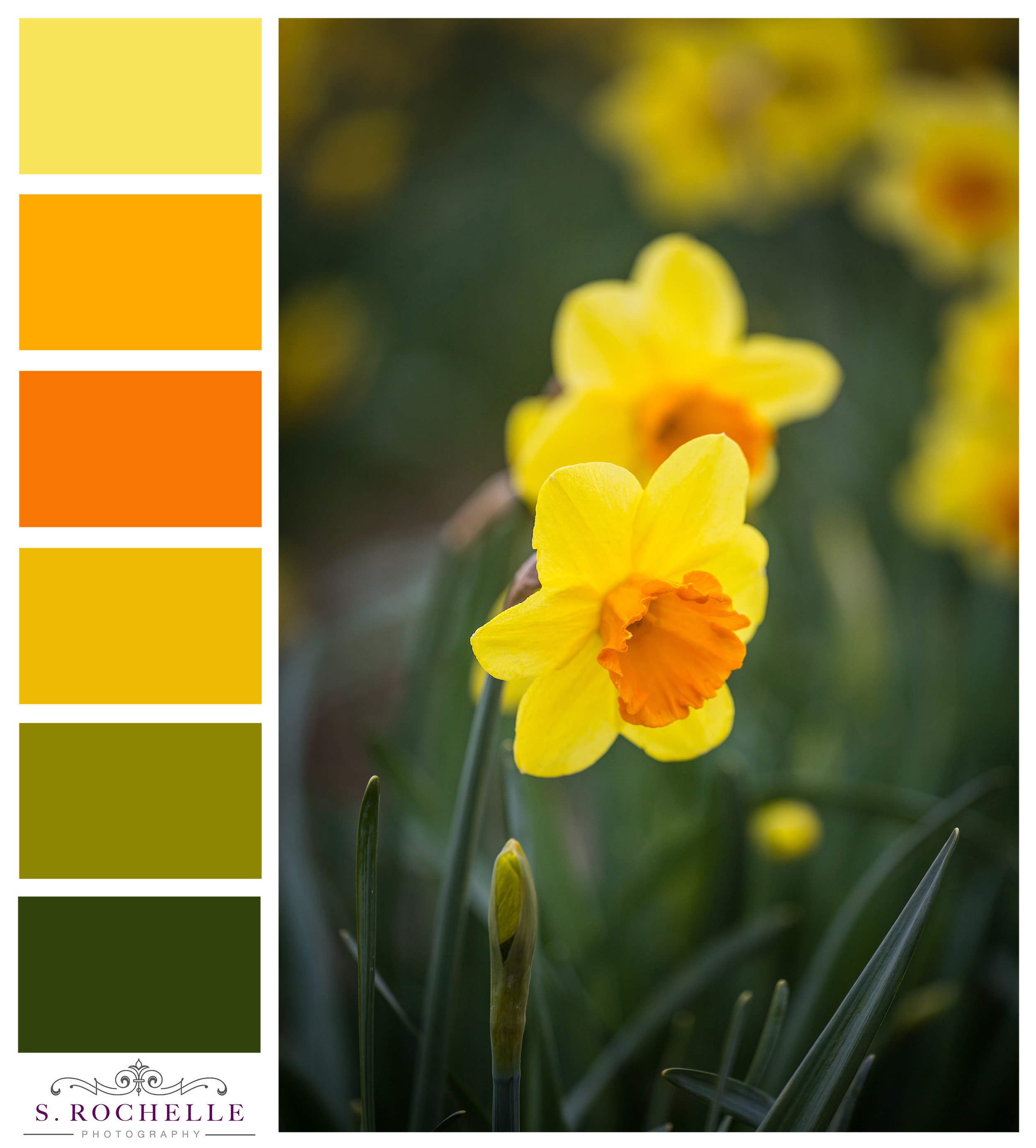 Daffodils_S_Rochelle_Photography_20180318_IMG_7133_ColorPalette.jpg