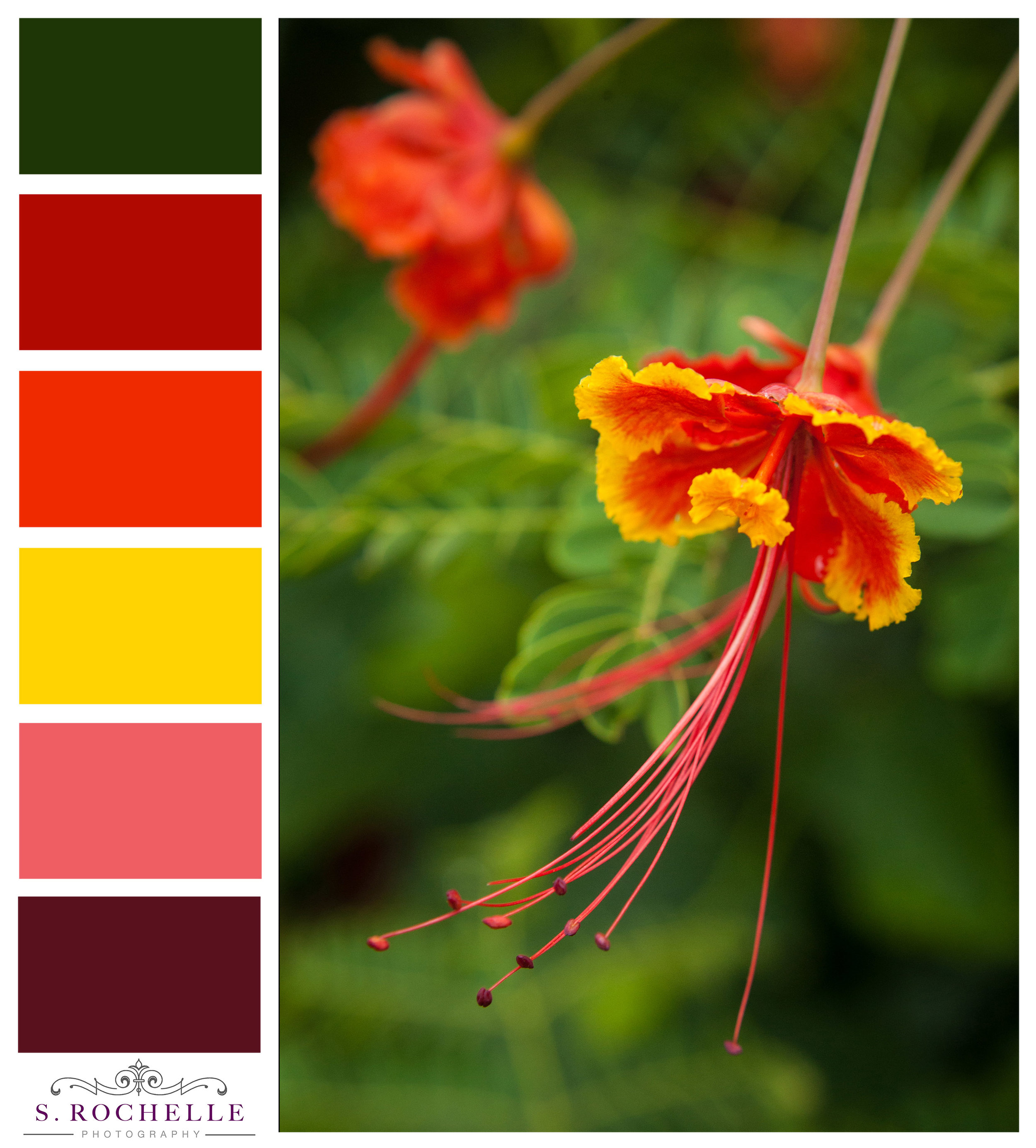 Peacock Flower_S_Rochelle_Photography_20130630_IMG1134_ColorPalette.jpg