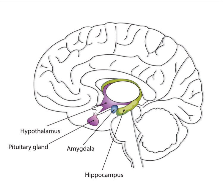Image of the Amygdala: from Introduction to Psychology 1st Canadian Edition