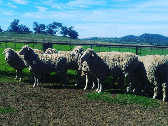 • RAM LAMBS JOINED • 7 month old @boxleighparkmerinos ram lambs taken out of stud ewes after 6 week joining in April. #merinoram #australiamerino #wool #ram