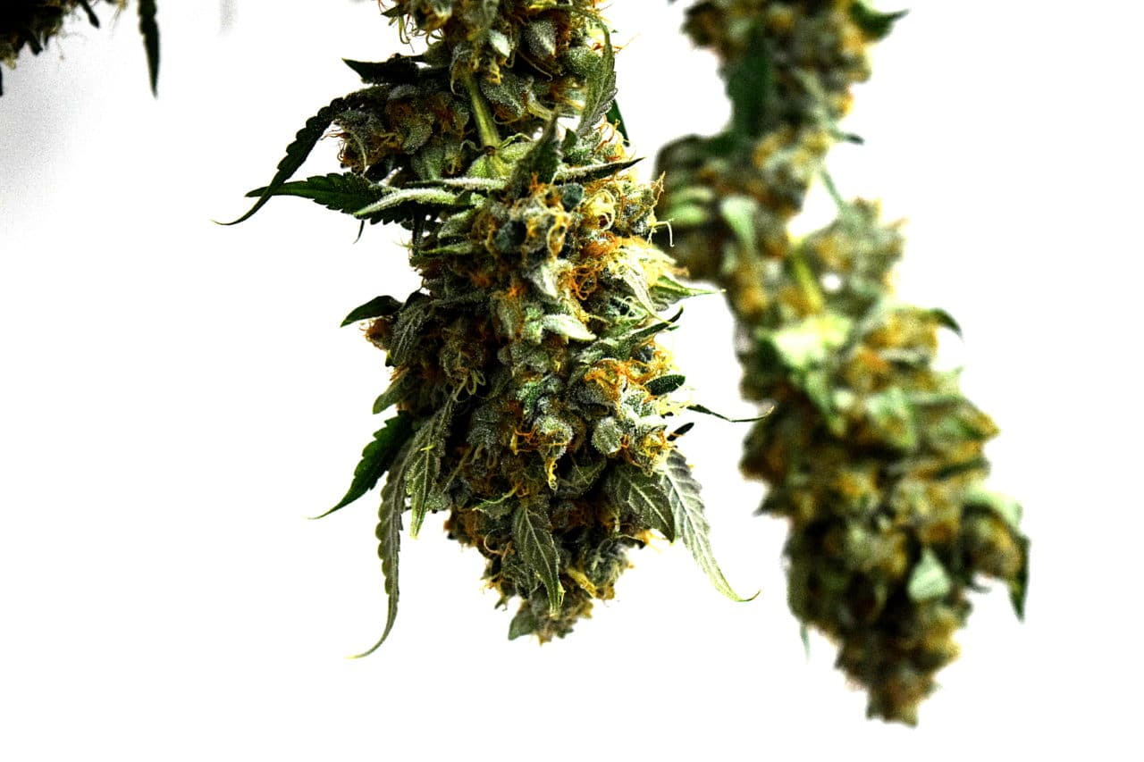 Plant terpenes are crucial to the experience that a cannabis user has