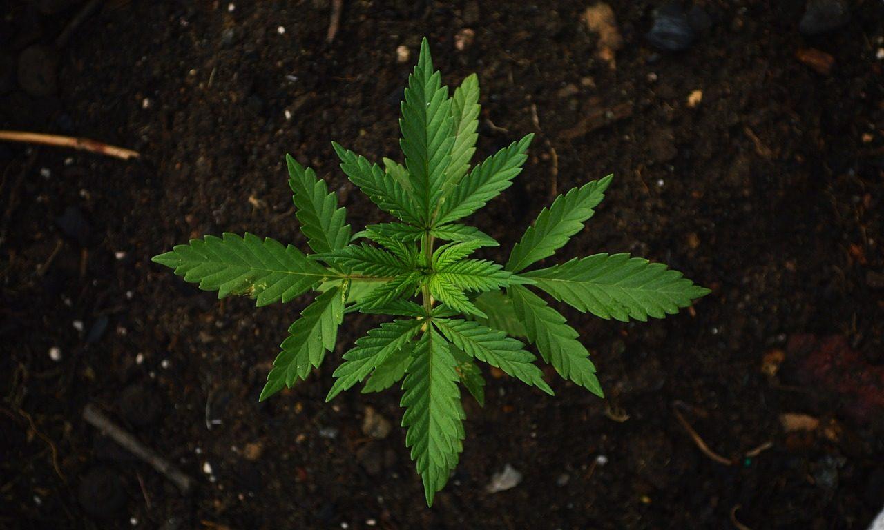 cannabis_1516644324-e1540930829503.jpg