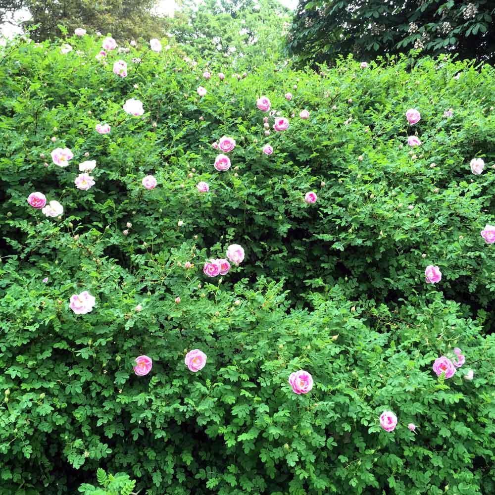 Those Rambling Roses