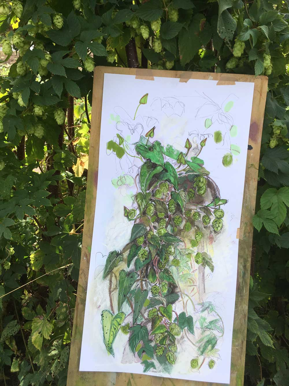 Ripening Papery Hops From Dawn and Martin's Plot