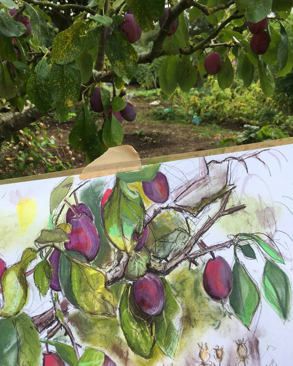 Ready To Pick Plums