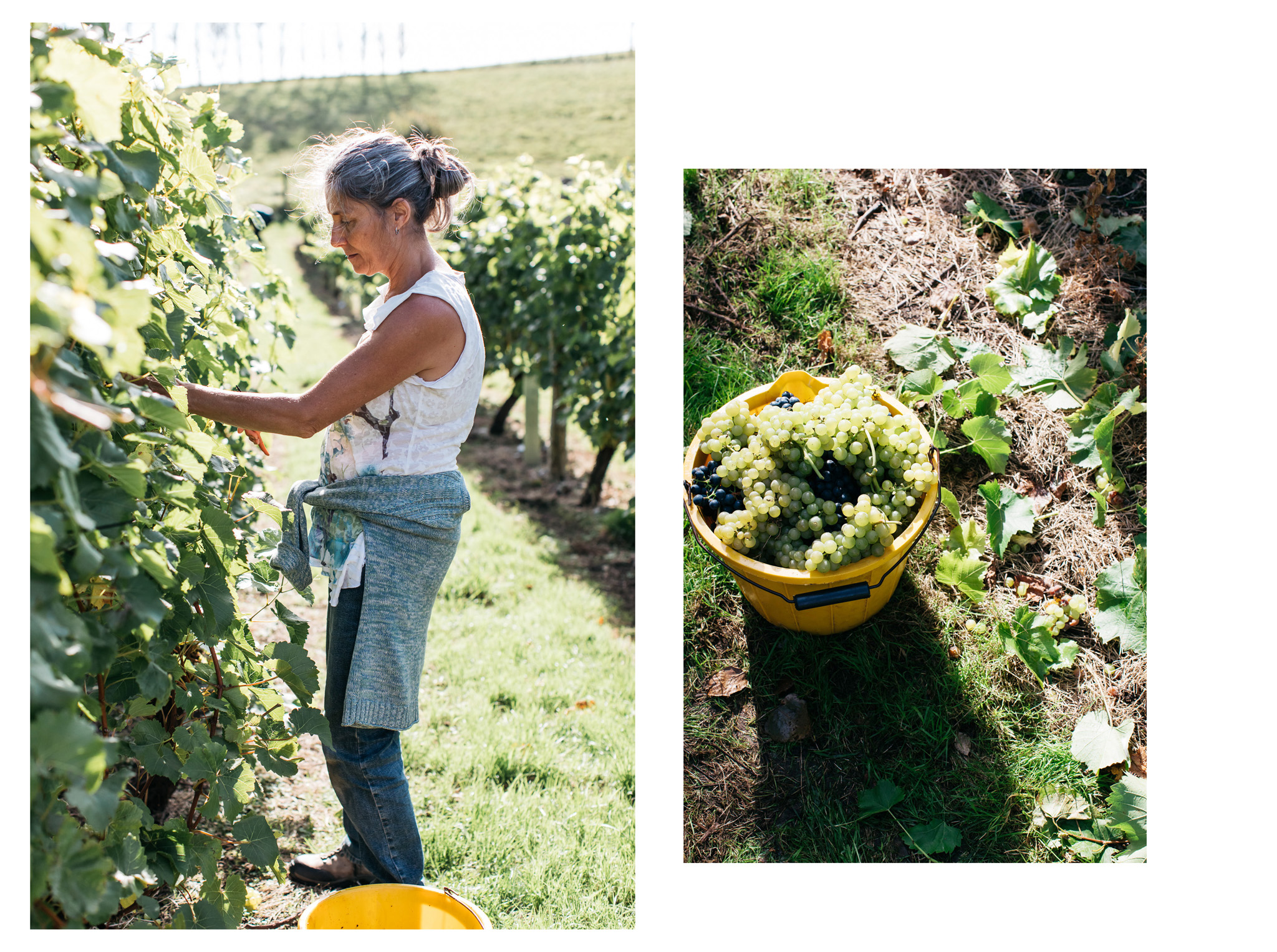 English wine pioneers Breaky Bottom near Lewes in East Sussex held their annual wine harvest with traditional lunch last month.