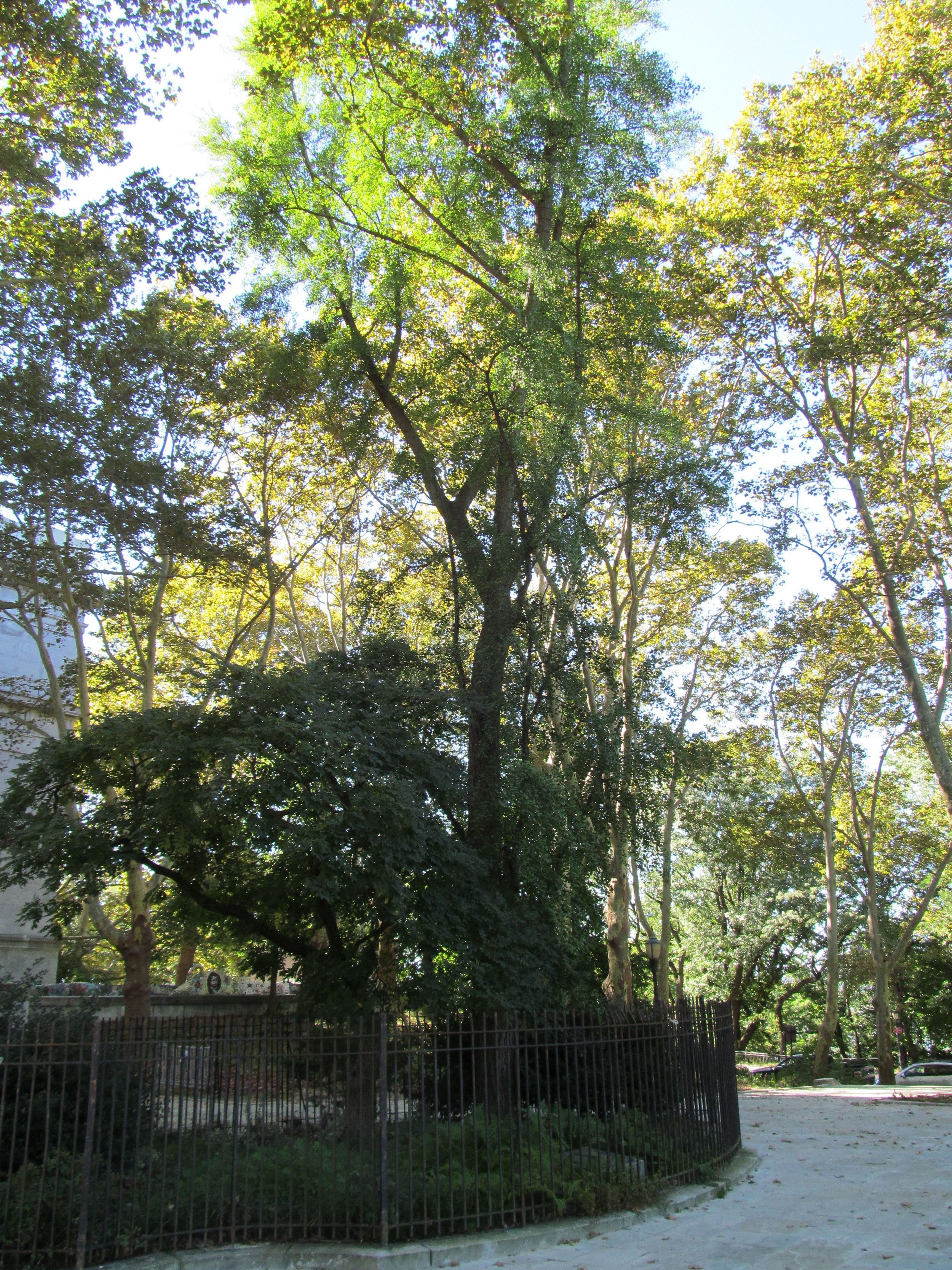 Ginkgo tree at Grant's Tomb in NYC