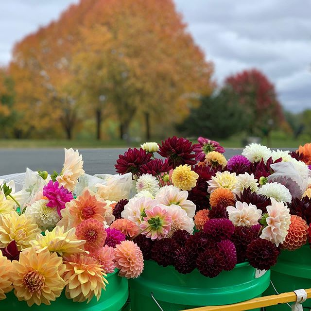 It might be Frostmas Eve over here! ❄️ Always bittersweet. Temps are right on the cusp so we invited neighbors over and a few local friends to cheers our great season. We enjoyed fancy sangrias and cut our pals loose to harvest as much as they wanted to take home. ☺️🥰#flowerfarm #flowerfarmer #dahlias #sangria #flowercsa #frostmas #minnesota @wendysue15 showing off the perks of being a neighb and CSA super member!