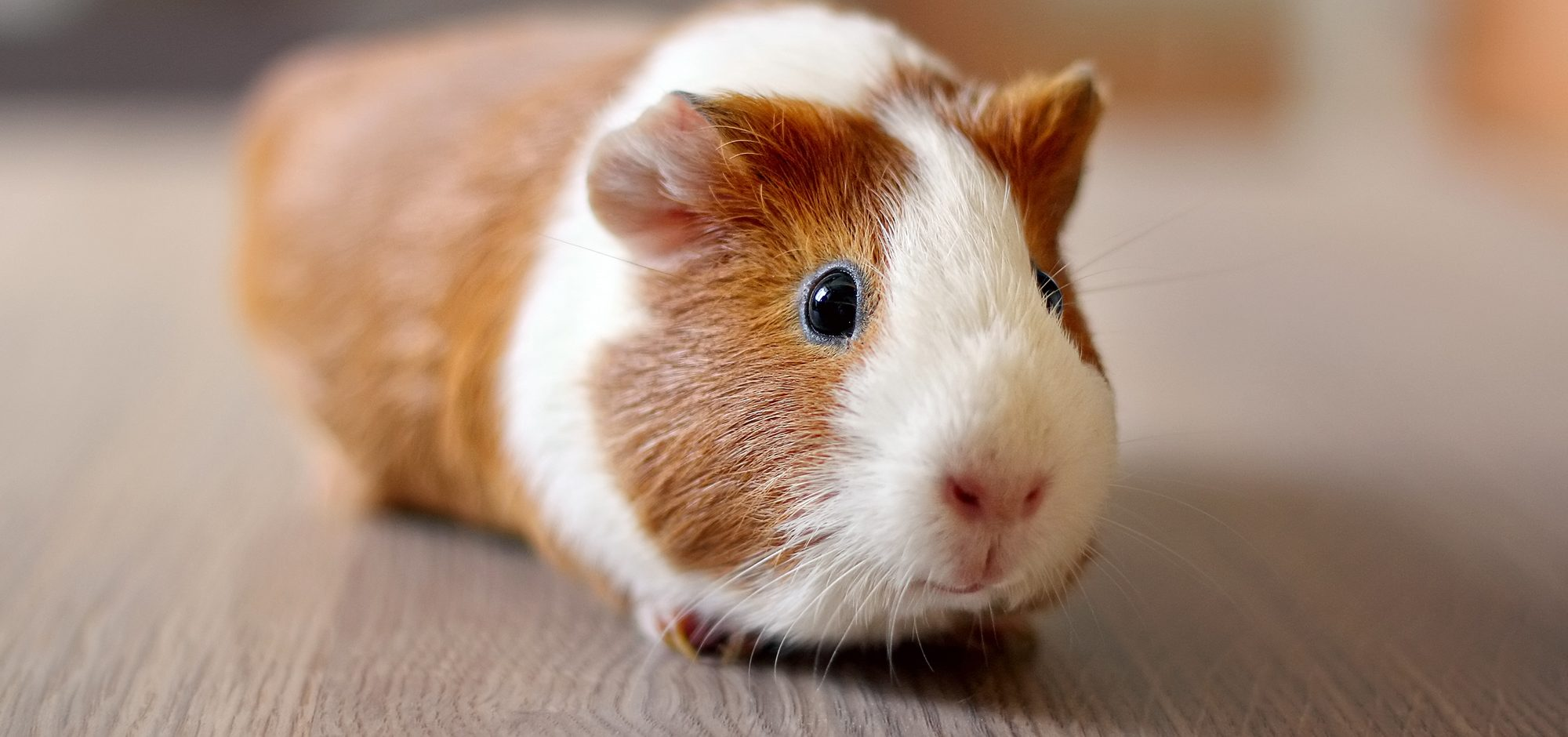 guinea-pig-appreciation-day-e1462455207291.jpg
