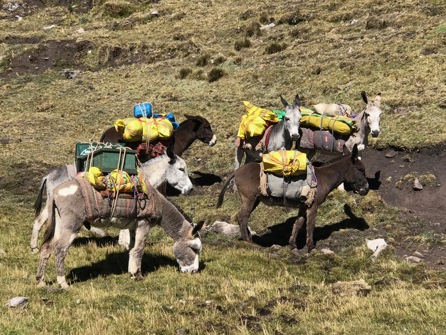 Our Mule Team