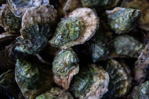 OysterFeed.jpg