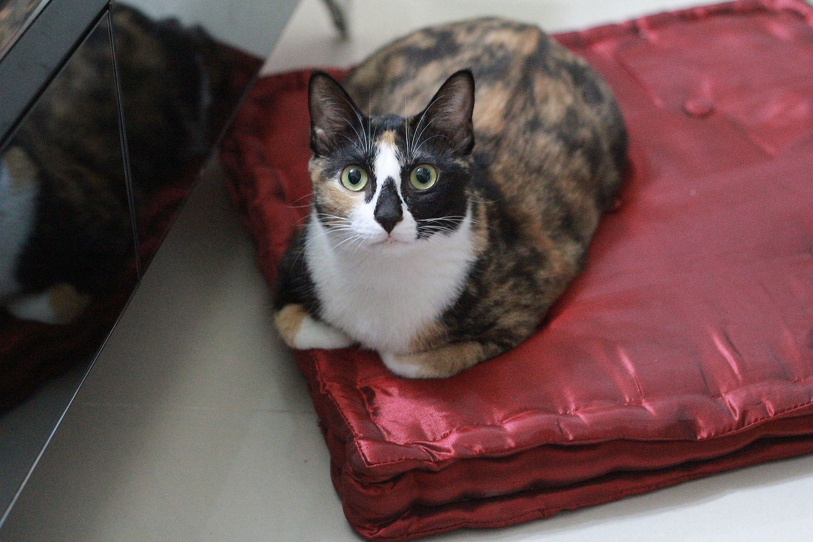 Calico_Cat_on_a_red_cushion.jpg