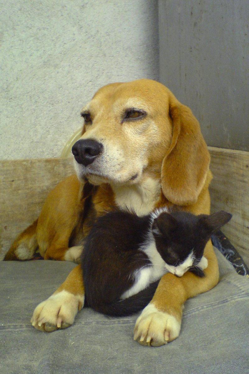 Beagle_and_sleeping_black_and_white_kitty-01.jpg