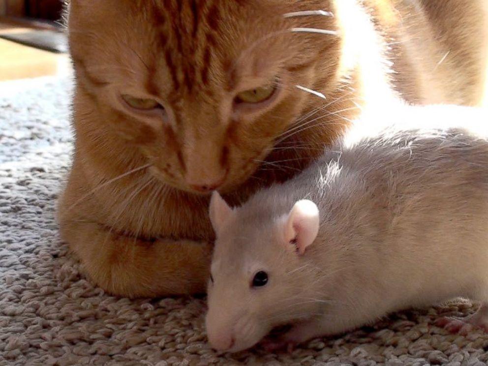 HT_Cat_Rat_03_jrl_160210_4x3_992.jpg