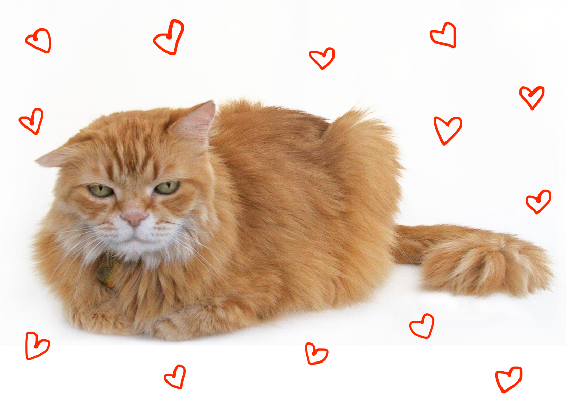Mr._Maji_a_long-haired_orange_cat_with_white_muzzle-copy.jpg