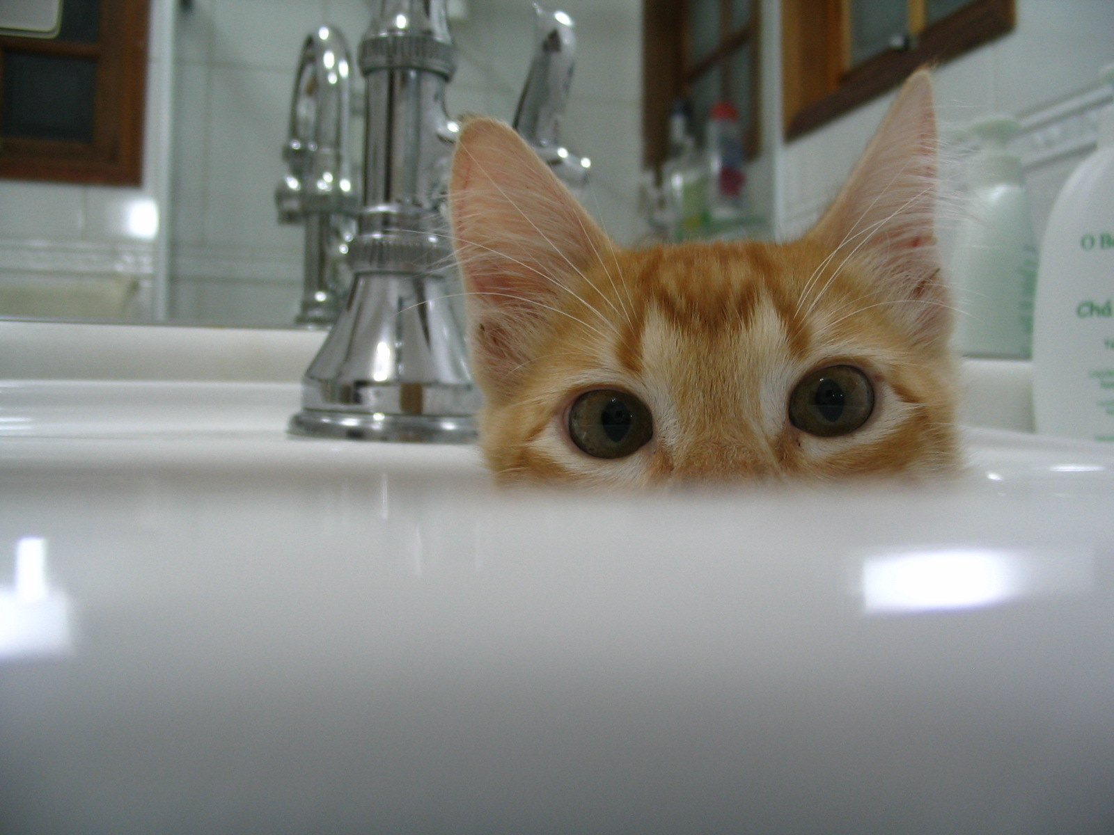 Gato_domestico_filhote-2.jpg