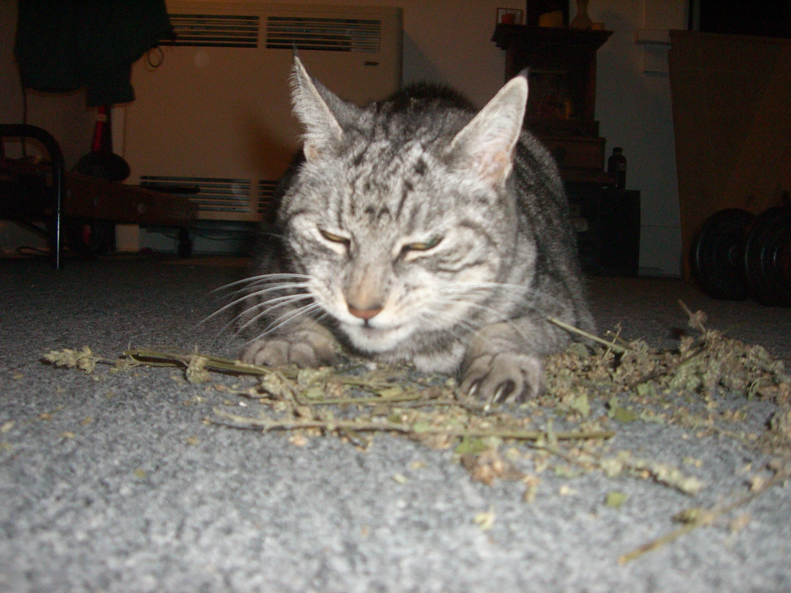 Shorty-on-catnip.jpg
