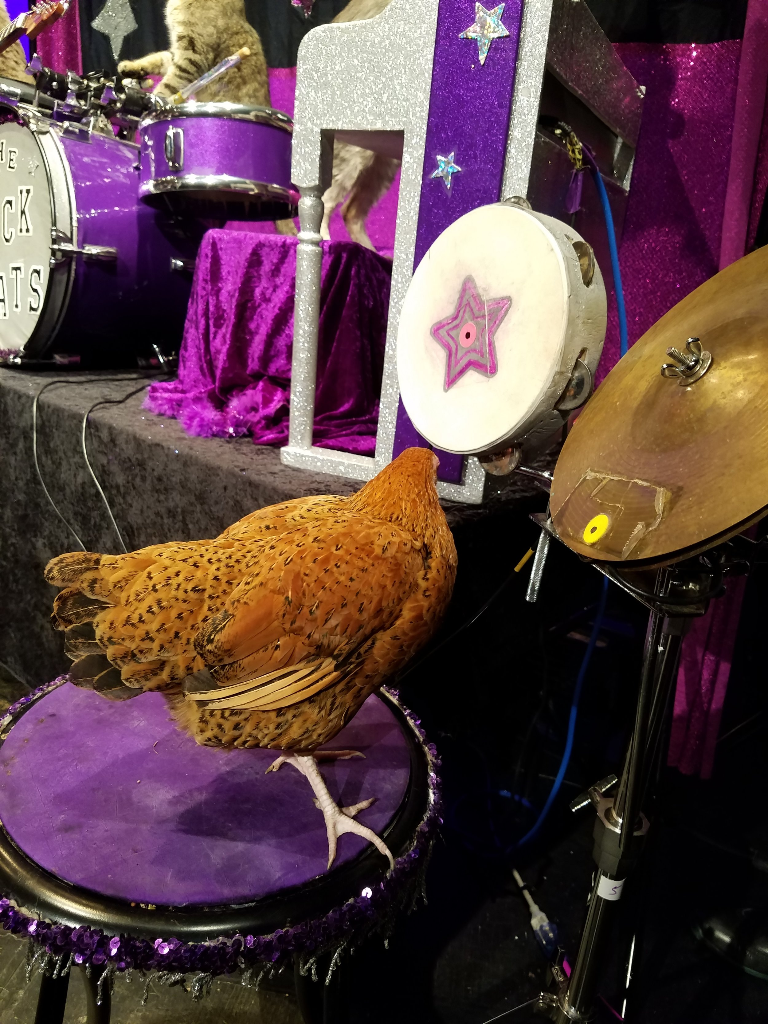 cluck-norris-acro-cats-chicken