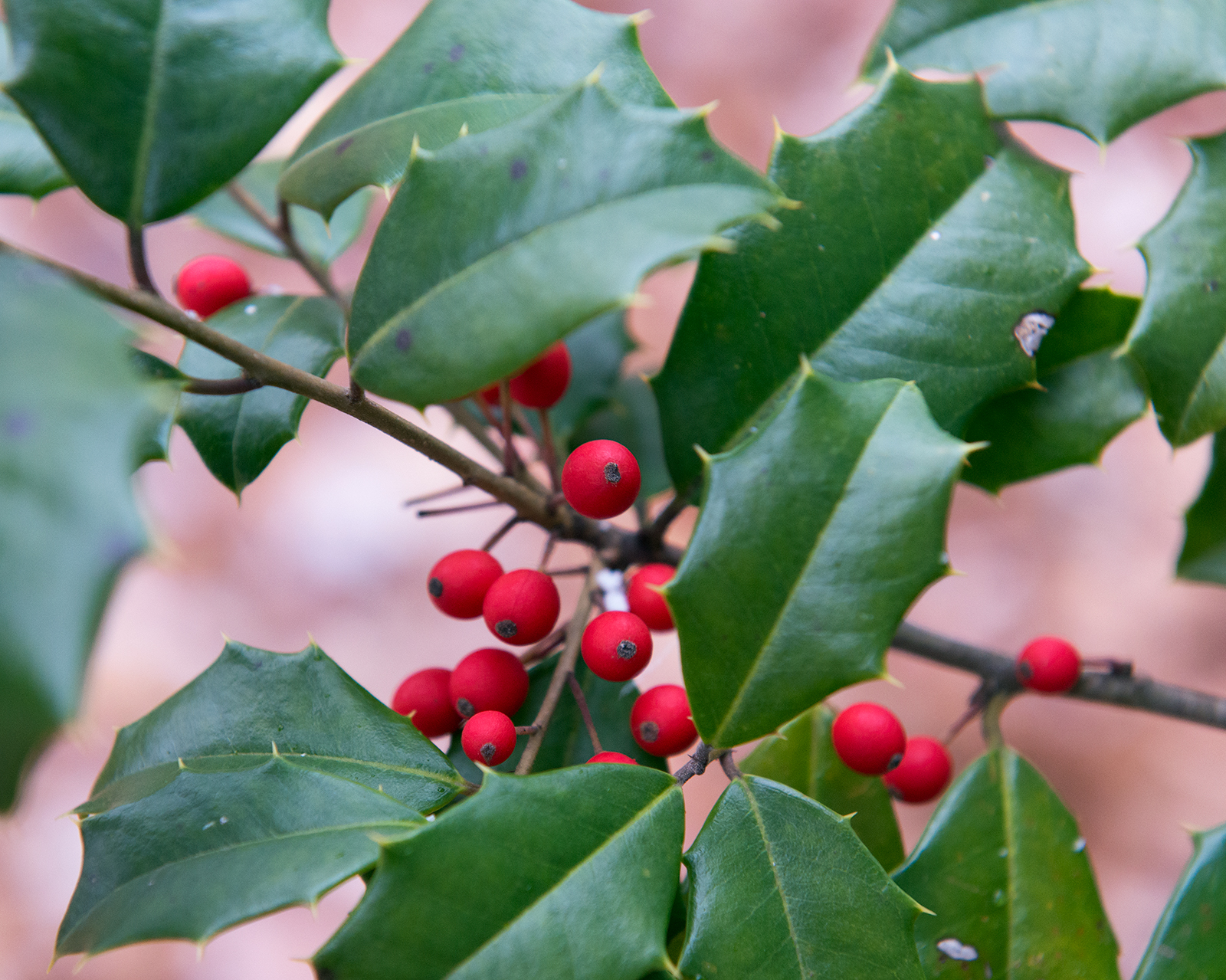 holly-plant-poisonous-to-cats
