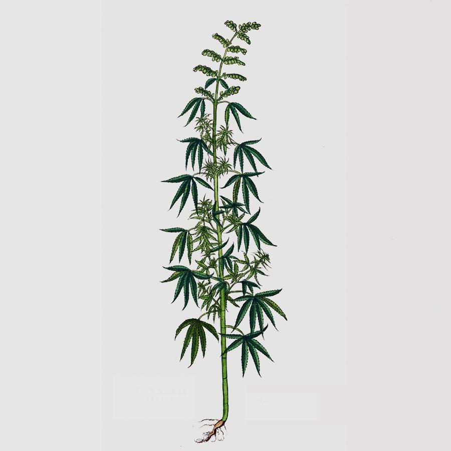 У растения тонкий стебель у конопли конопля сушить курить