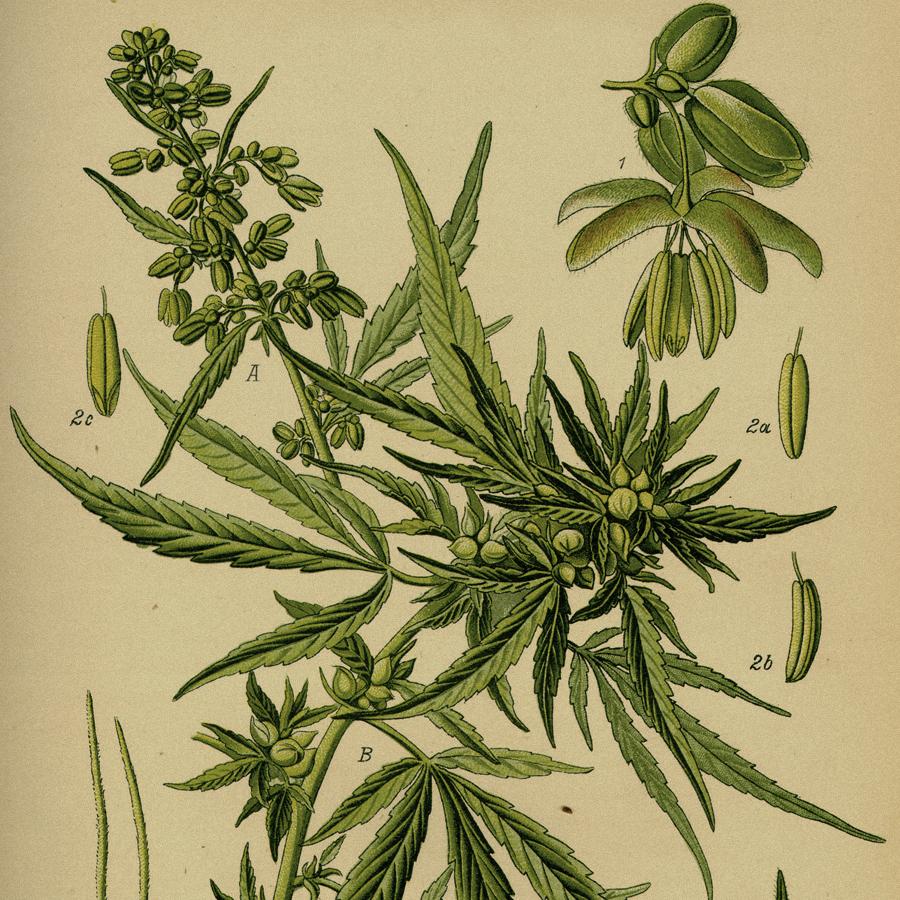 Cannabis_Square2.jpg