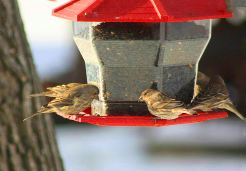 Female House Finches copy.jpg