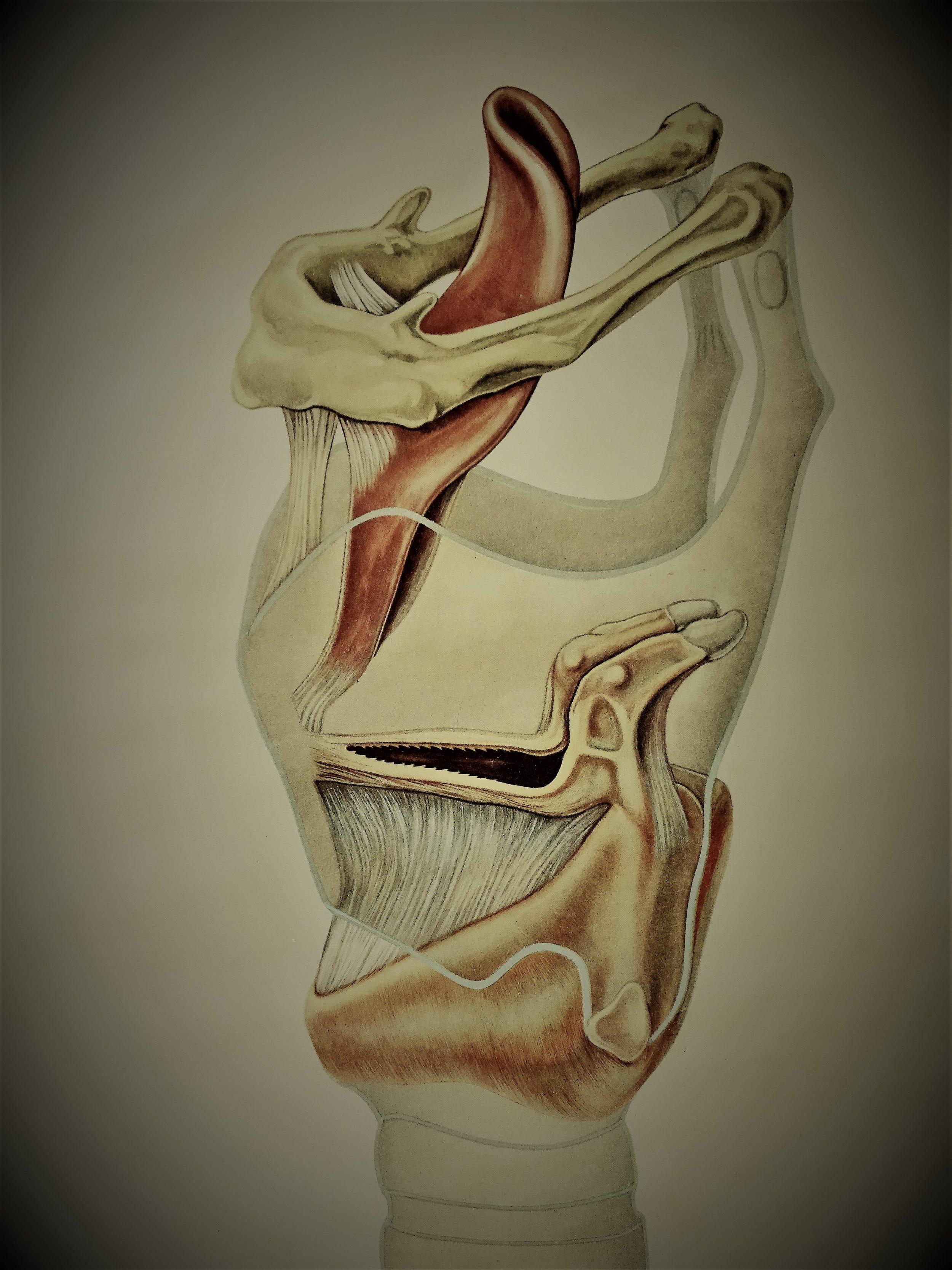 Tekening van het strottenhoofd of de larynx. De larynx bestaat uit een botje en verschillende stukken kraakbeen en bevindt zich boven op de luchtpijp. De stembanden of stemplooien (midden in de tekening) lopen van voor (links op de tekening) naar achter en kunnen de luchtpijp afsluiten en openen.