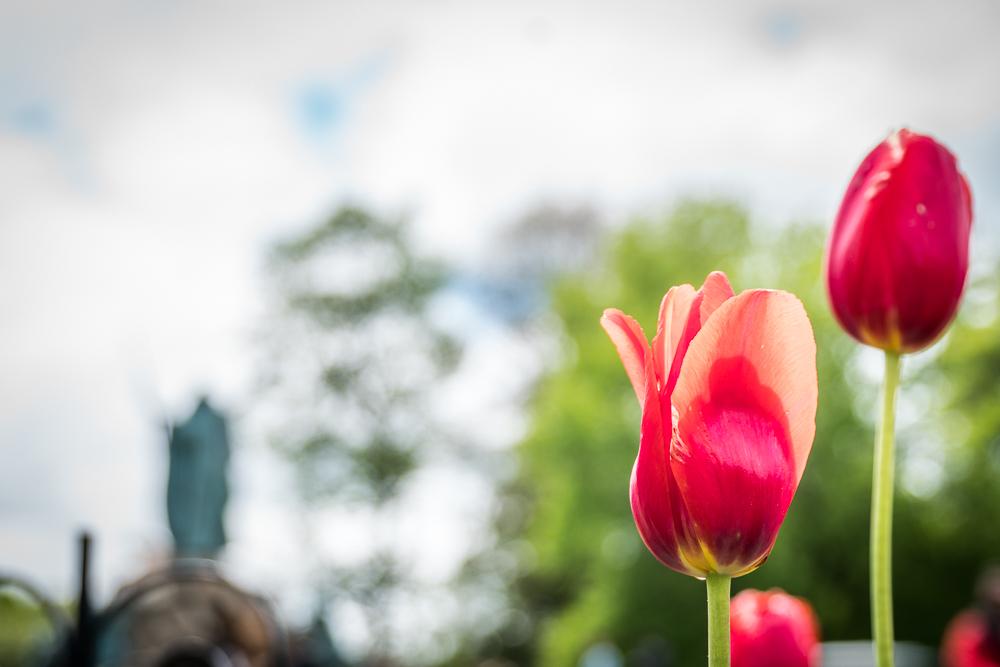 Tulip Festival 2017