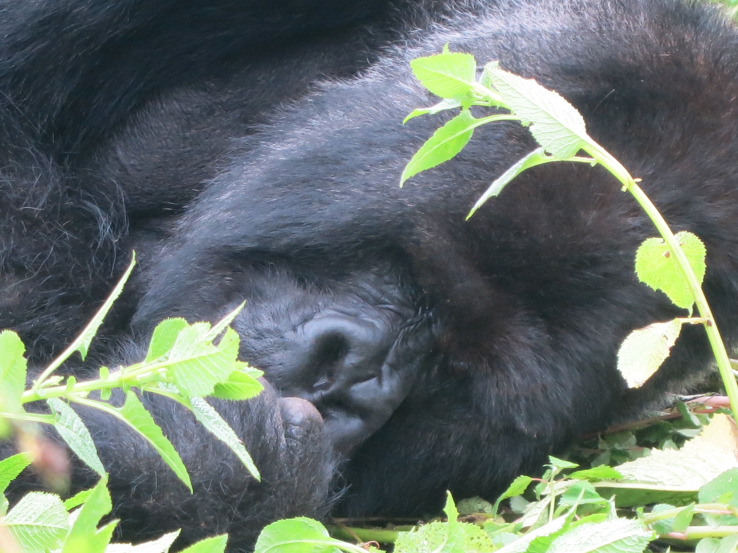 You can identify a gorilla by their unique nose patterns the same as you can identify humans by their fingerprints.