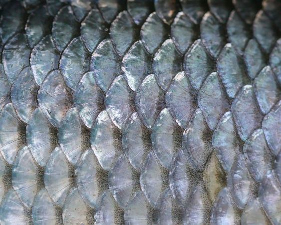 Closeup of fish scales | Image:  Rajesh Dangi , licensed under Creative Commans 3.0