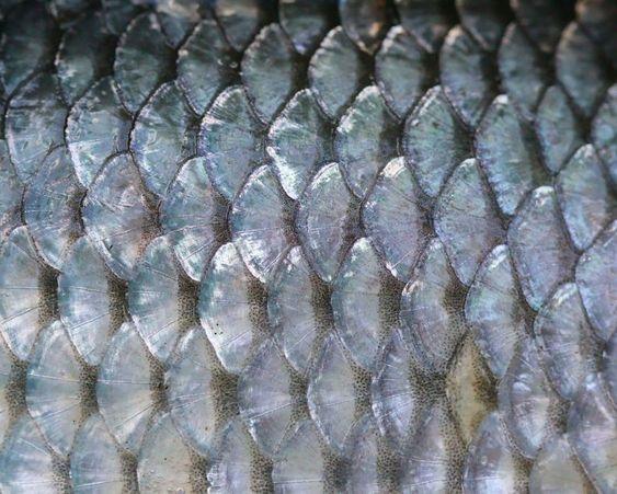 Closeup of fish scales | Image:  Rajesh Dangi , licensed under Creative Commans 3.0