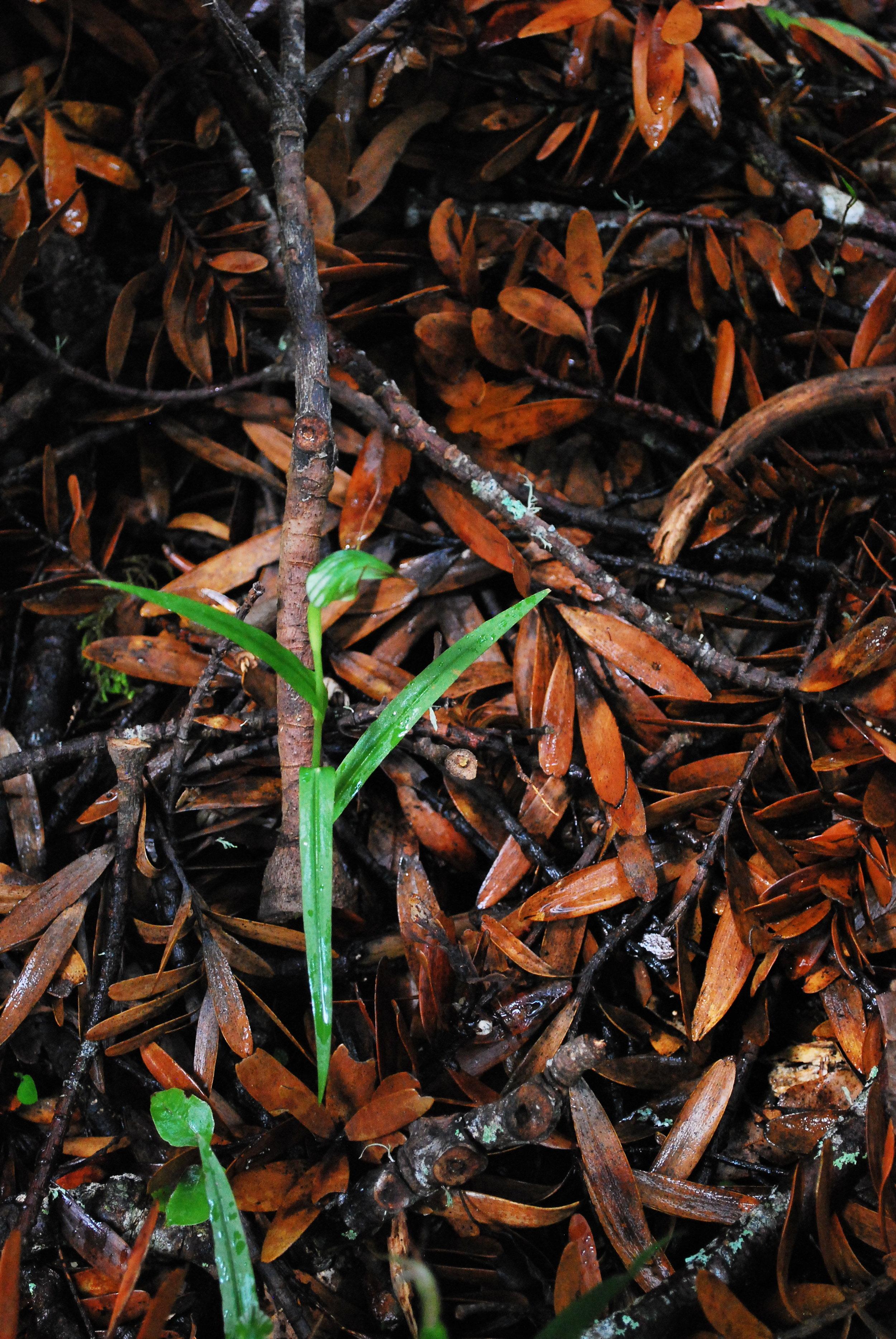 Tuahu Kauri Greenhood Orchid_028.JPG