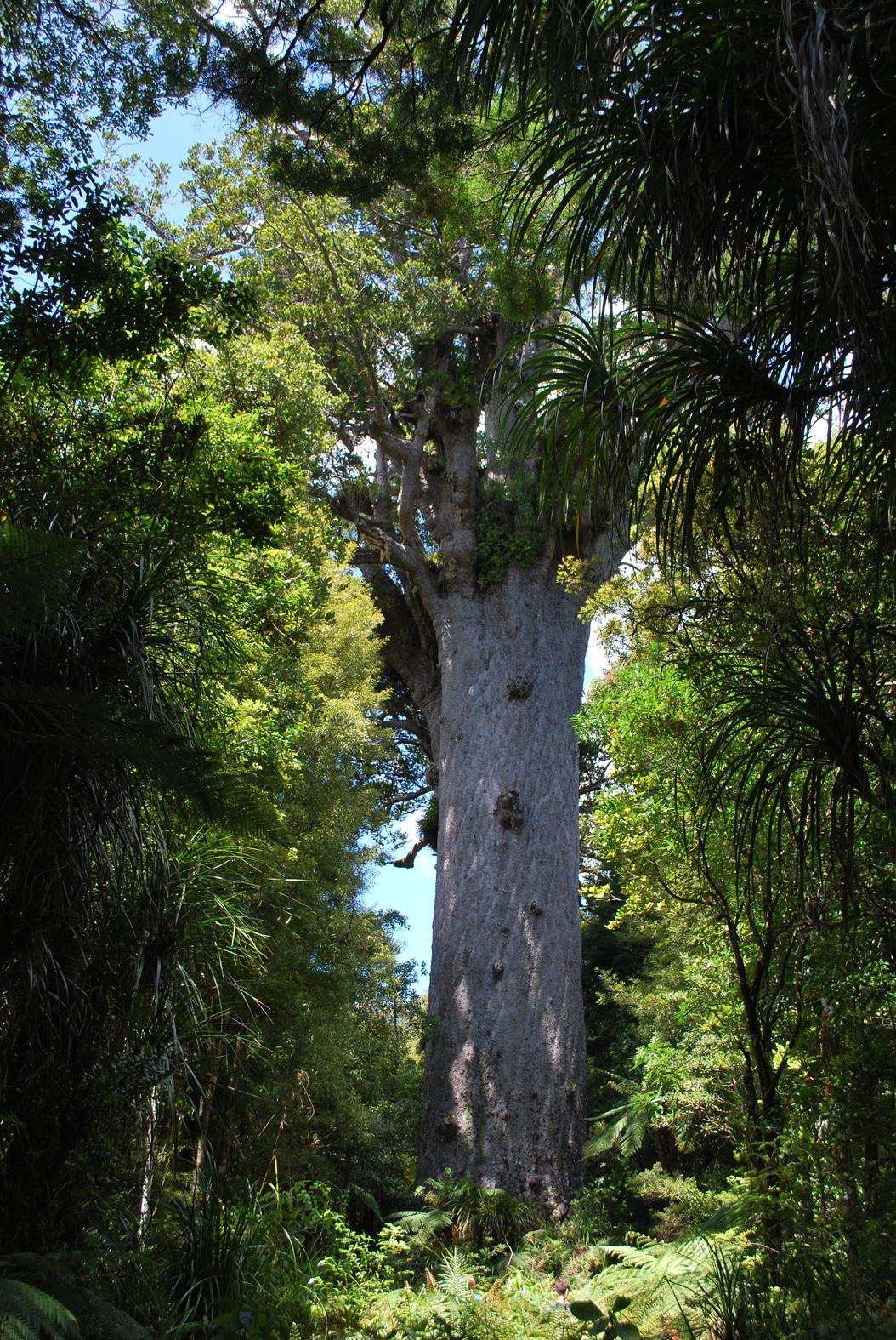 kauri dieback near Tāne Mahuta