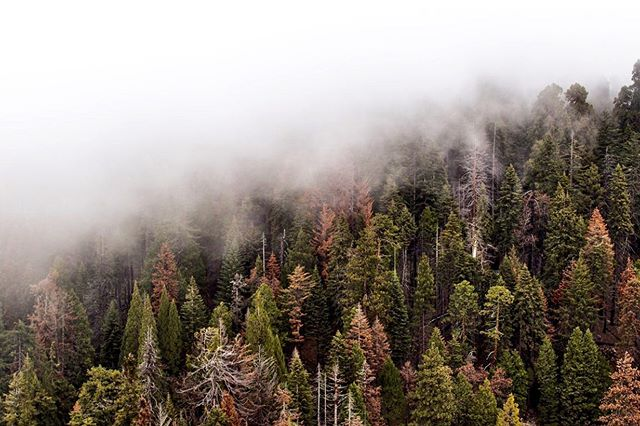 🌲🌫🌲 - There it is, fog, atmospheric moisture still uncertain in destination, not quite weather and not altogether mood, yet partaking of both. ~Hal Borland -