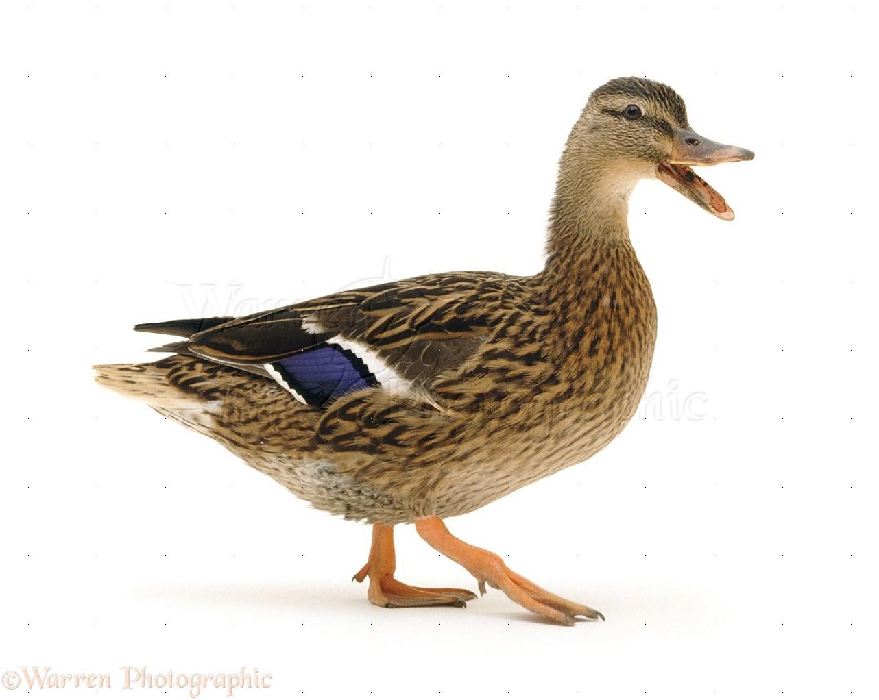 09596-Mallard-duck-quacking-white-background.jpg