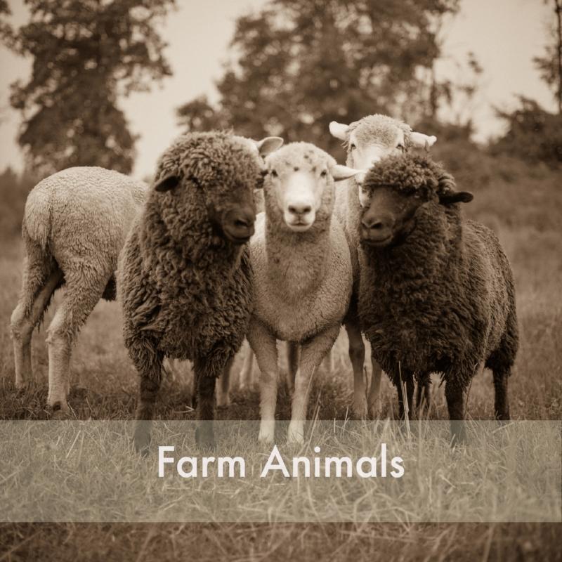 sheep_gtown006.jpg