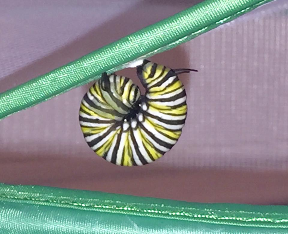 caterpillar becoming pupa.   sally klein