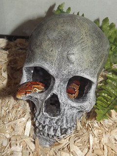 """""""Mouse"""" our rescue corn snake that was severely underfed in her first three years of life. she is enjoying life now with all the mice she can eat!"""