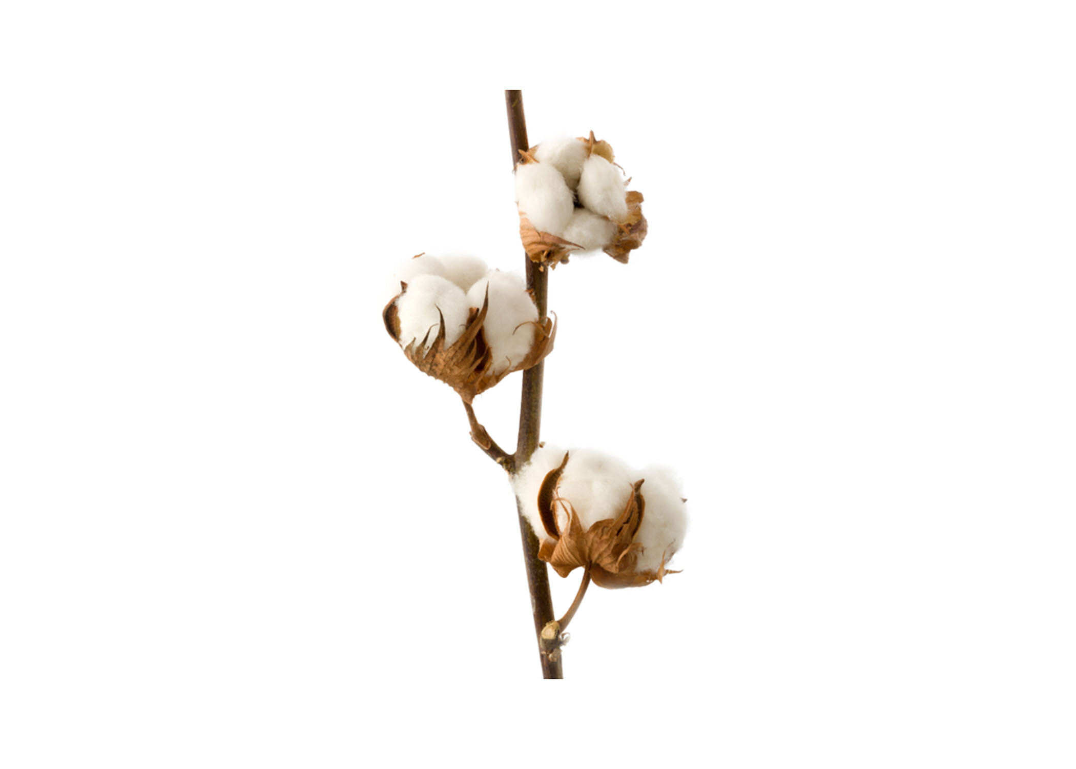 Cotton Protein