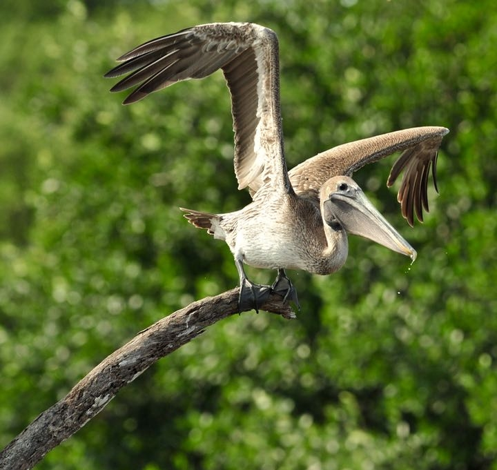 A startled brown pelican on my route to the Roseate Spoonbill waters.