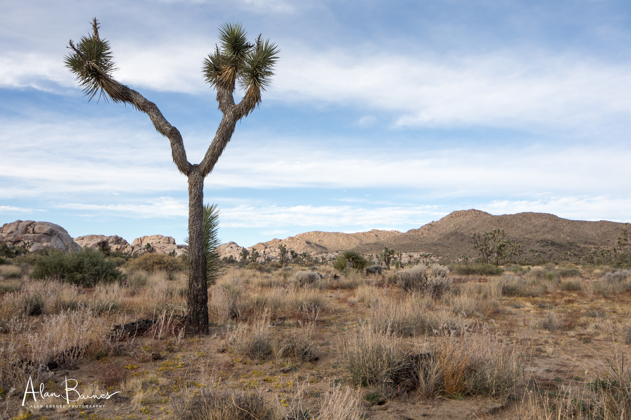 Firstly, the Joshua tree (Yucca brevifolia), is not a tree. Nor a cactus. It's a member of the agave family. Secondly the album cover for U2's album of the same name was not taken at Joshua Tree Park, but 200 miles away near Death Valley. Sadly Dutch music-venue manager Guus Van Hove and his German wife Helena Nuellett, died in Joshua Tree Park from heat exhaustion - looking for the album cover tree.