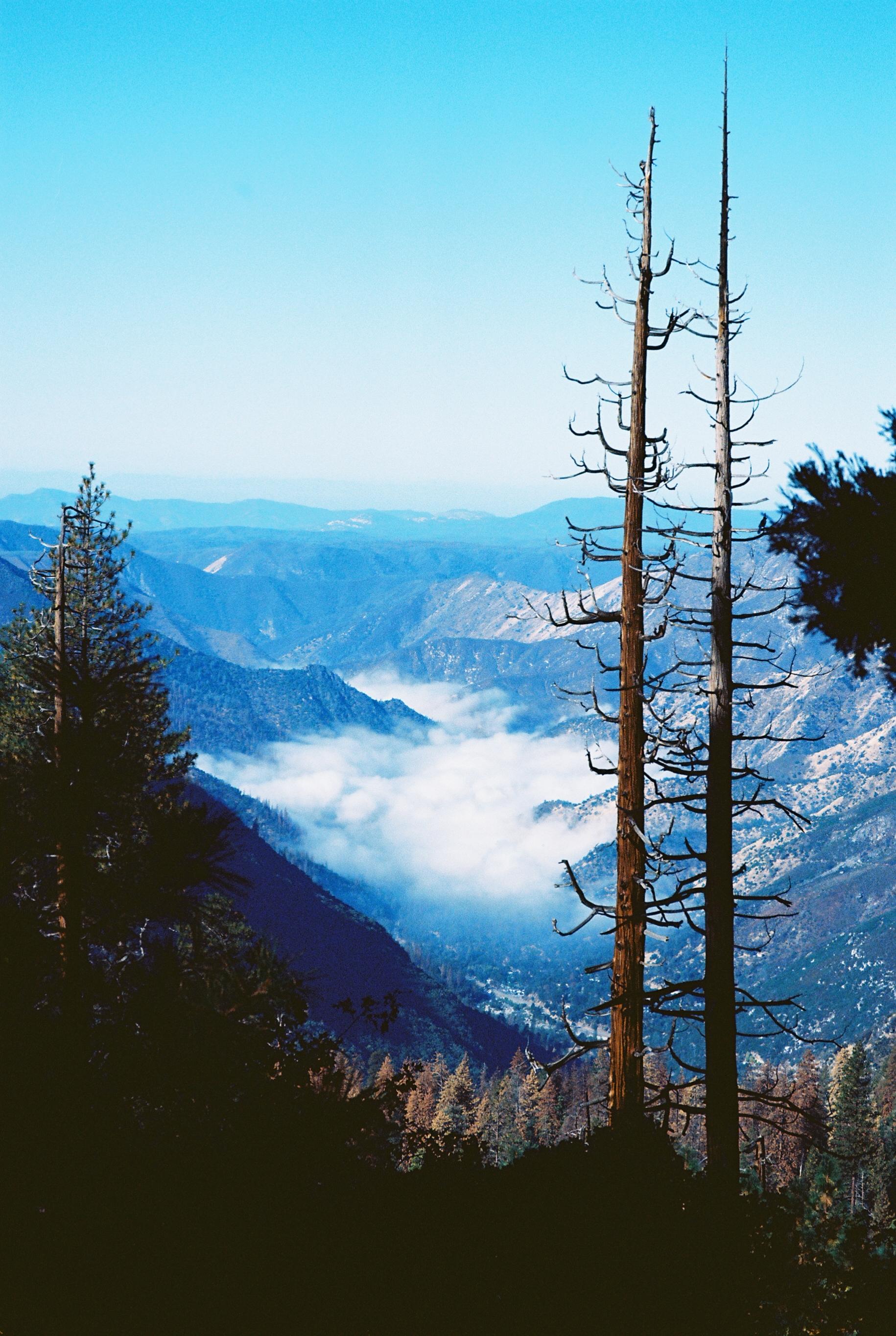 Sugar Pine, California, USA   Pentax, LX