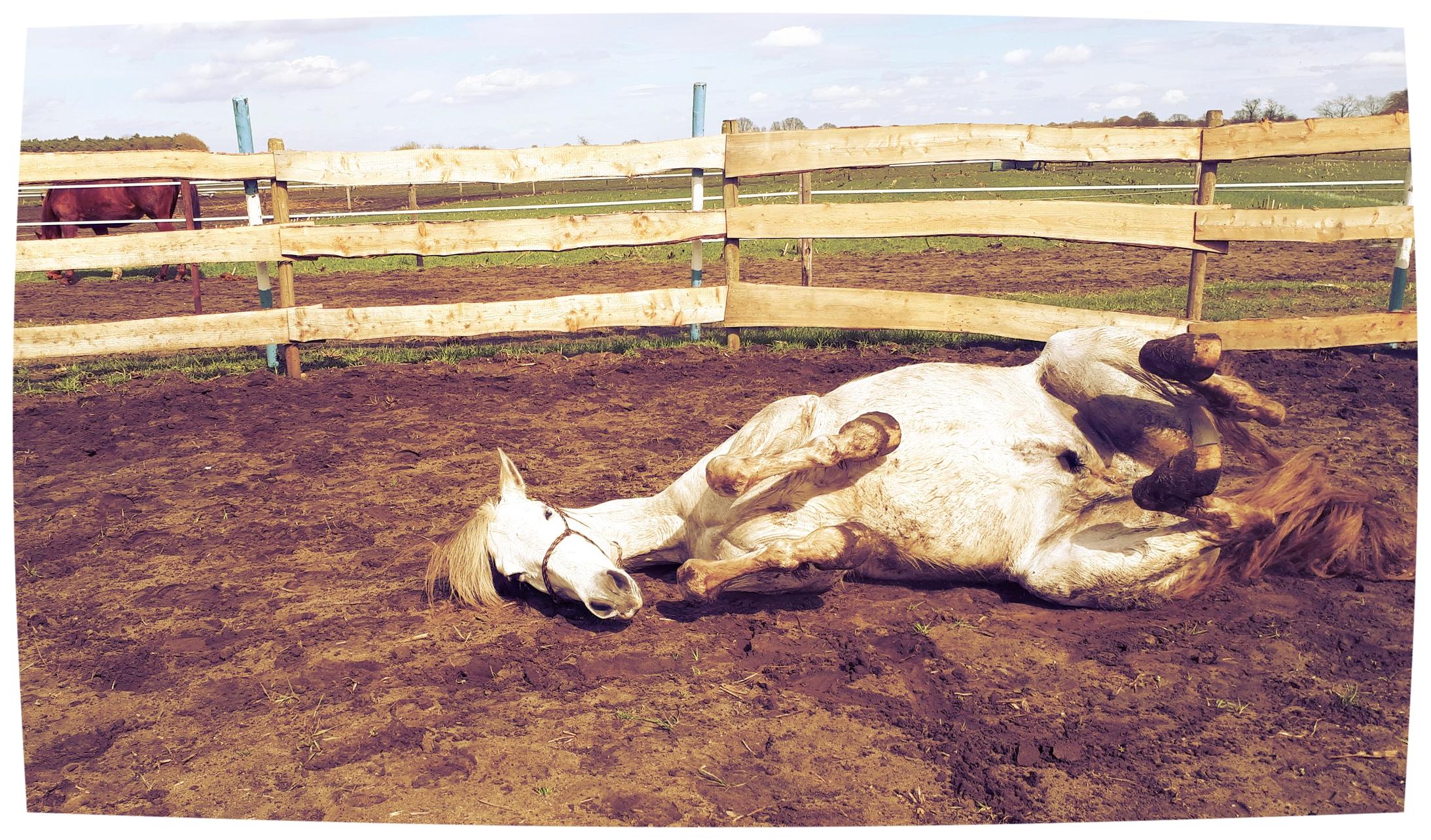 Even ontspannen na tempowisselingen tussen draf en galop. Ocho heeft nog moeite met zijn balans tijdens de wisseling. Daarom oefen ik met hem van op de grond om dit te verbeteren.