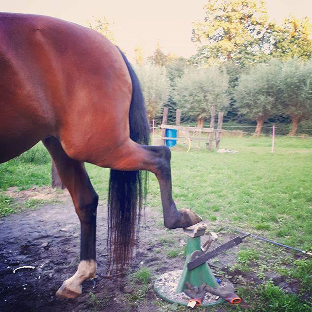 Een paard hoeft niet hoger dan dit de hoef op te tillen om te #bekappen. Let er op dat je hoefsmid het achterbeen zeker niet naar opzij trekt en/of hoger tilt want dit veroorzaakt veel pijn en blessures in het bekken. . #barefoottrimmer #natuurlijkbekappen #hoefbekappen #horselovers #staytruetoyourhorse