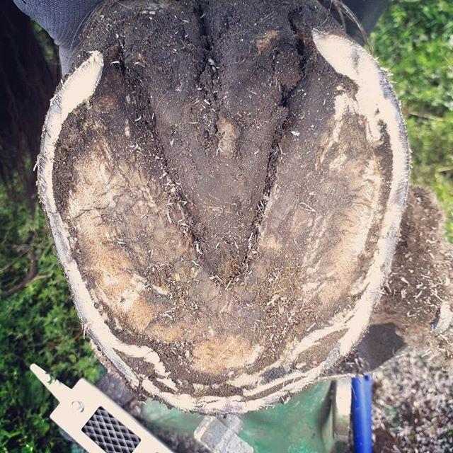 Zie jij de 2 grootste problemen in deze #hoef? Swipe en ontdek 1) de ernstige rotstraalspleet die diep tussen de hoefballen de hoef in loopt en 2) gespleten hoefwand waar vuil zich ophoopt en schimmels en bacteriën de draagkracht van de hoef ernstig aantasten en de witte lijn vervormen (auw!). De eigenaar gaf aan dat het paard meestal gevoelig loopt na bekapping. We zijn begonnen met de behandeling! . . #barefoottrimmer  #staytruetoyourhorse  #bekappen  #hoefbekappen