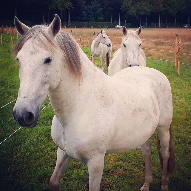 Mijn groupies 😍 . #paddockparadise  #paardenliefde  #greyhorse  #paardenmeisje